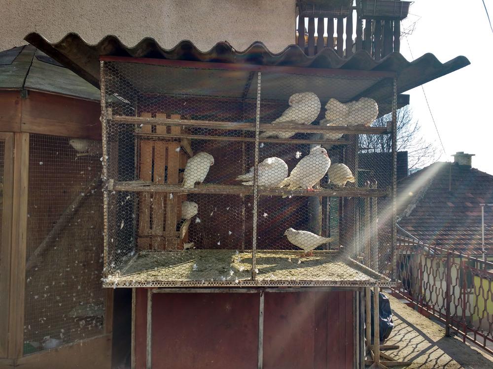 Doves, Sarajevo