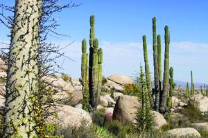 baja cactus desert.jpg