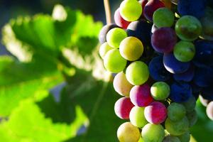 valle grapes.jpg