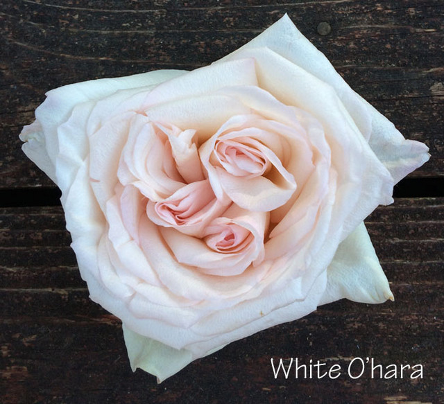 2-White-Ohara-1.jpg