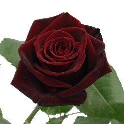 06-Black_Bacarra_Red_Rose_250.jpg