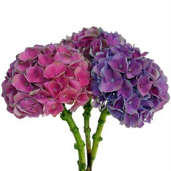 Antique_Dutch_Hydrangea_Purple_Pink_Flower_D_350.jpg