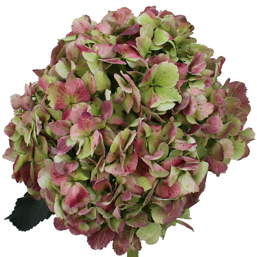 Antique-Green-Red-Hydrangea-Extra-Large-500_f3b6f3a7.jpg