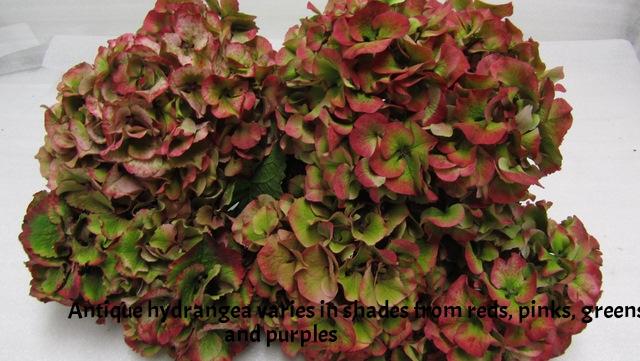 Hydrangea-Sibilla-Red-Antique.jpg
