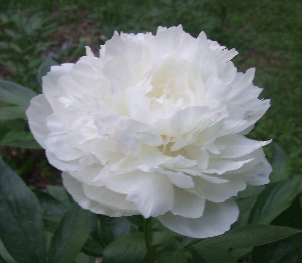 Peonies_Wedding_White_Flower.jpg