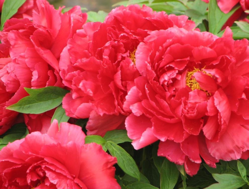 4_reds-excellent-Peony_Garden-5-24-2008_098-992x753.jpg