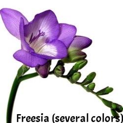 13-Fresh_Cut_Purple_Freesia_Flower_250.jpg