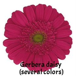 31-Furore-Dark-Pink-Super-Gerbera-Daisy-250.jpg