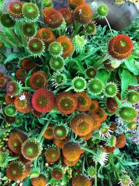 45-cone flower july.jpg