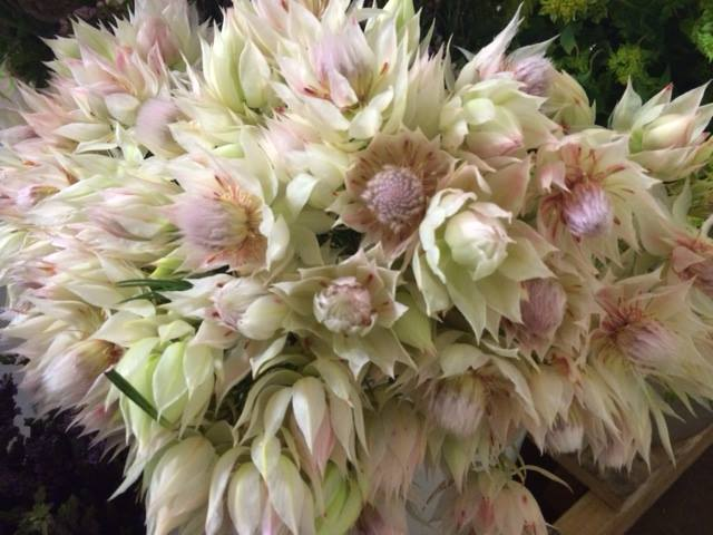 47-blushin g bride protea july.jpg