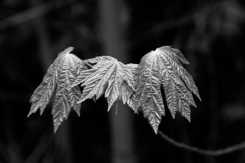 Witch Fingers Leaves -1.jpg