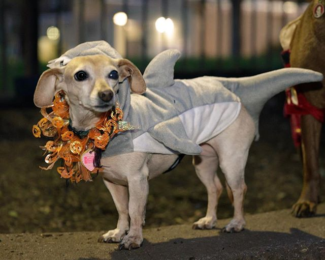 Last night was fun @segerdogpark  Howl-o-ween event. Molly was sharking it up. More pics available https://archives.woosterthorpe.com/segerpark/ #howloween