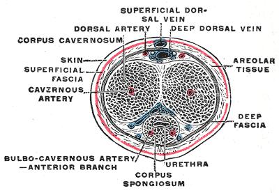 https://en.wikipedia.org/wiki/Corpus_cavernosum_penis#/media/File:Gray588.png