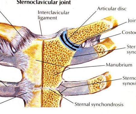 sternoclav joint inf2.JPG