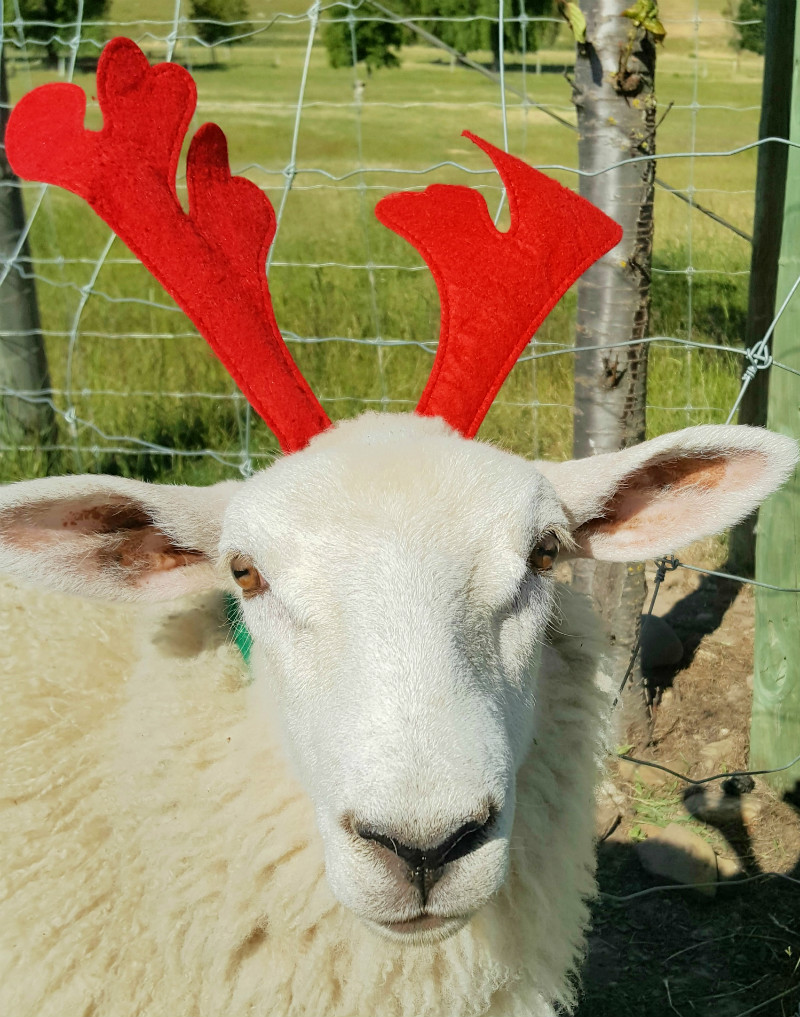 merry christmas and happy new year from us all at share a sheep