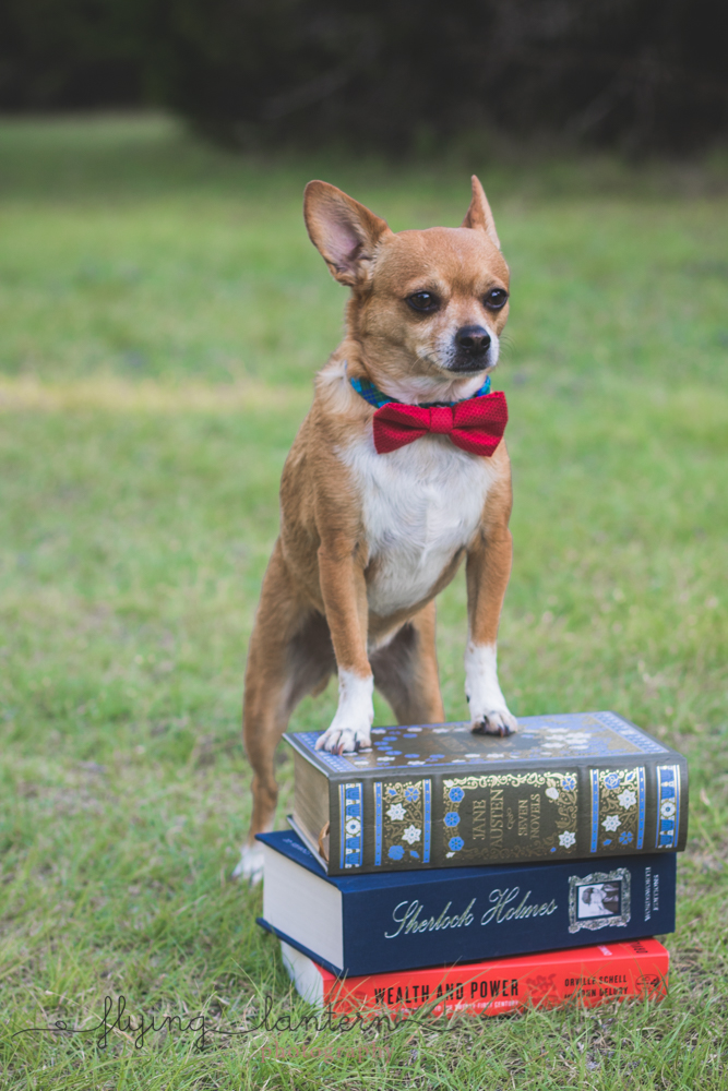 chihuahua with book pile in a park