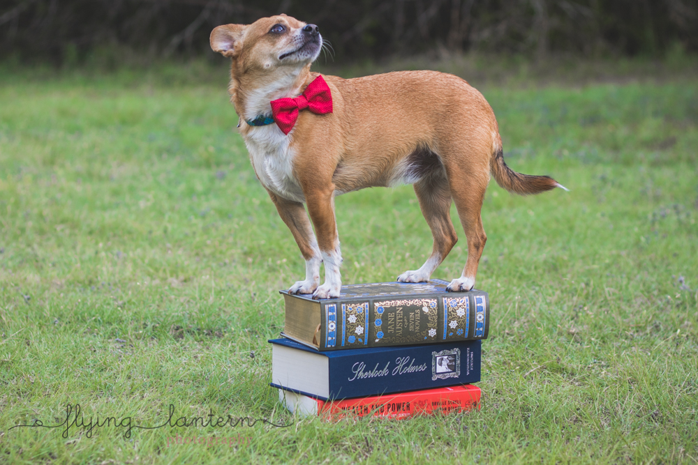 fat chihuahua standing on top of book pile outside