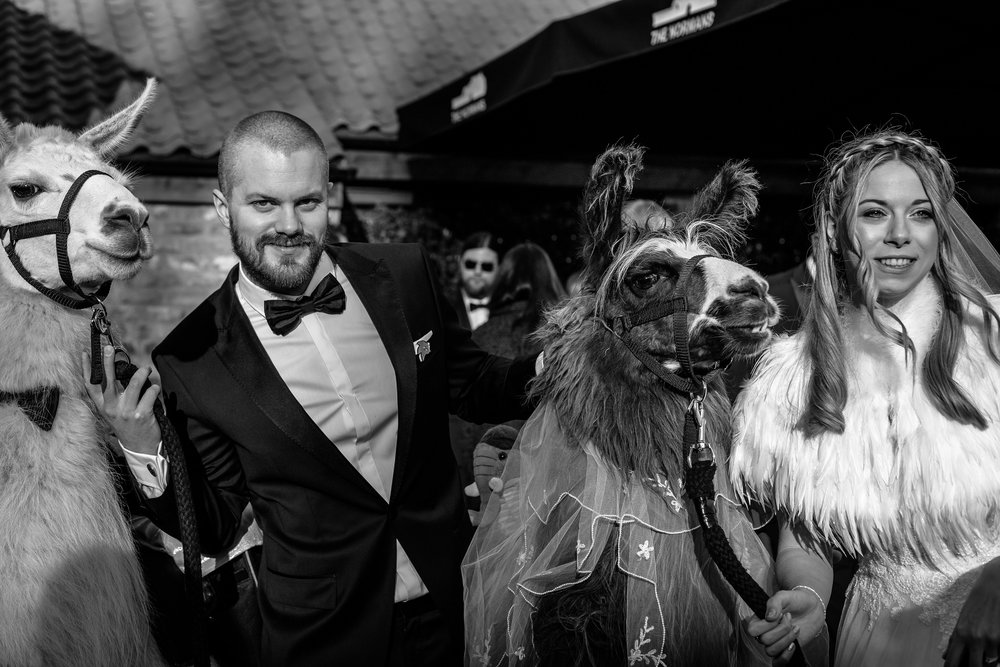 Llama Love at The Normans, Photo by Sansom Photography, www.sansomphotography.co.uk