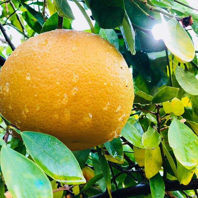 Fresh Arizona Citrus in our backyard. Grapefruit for days.