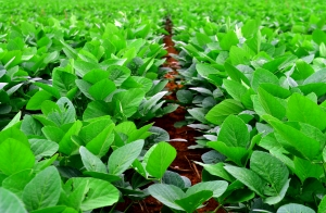 1406800_soy_beans_plant_11.jpg
