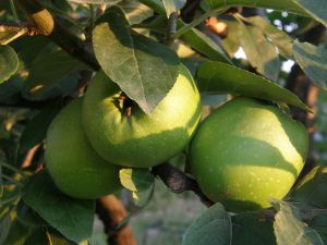817428_green_apples_-_fruit_from_paradise