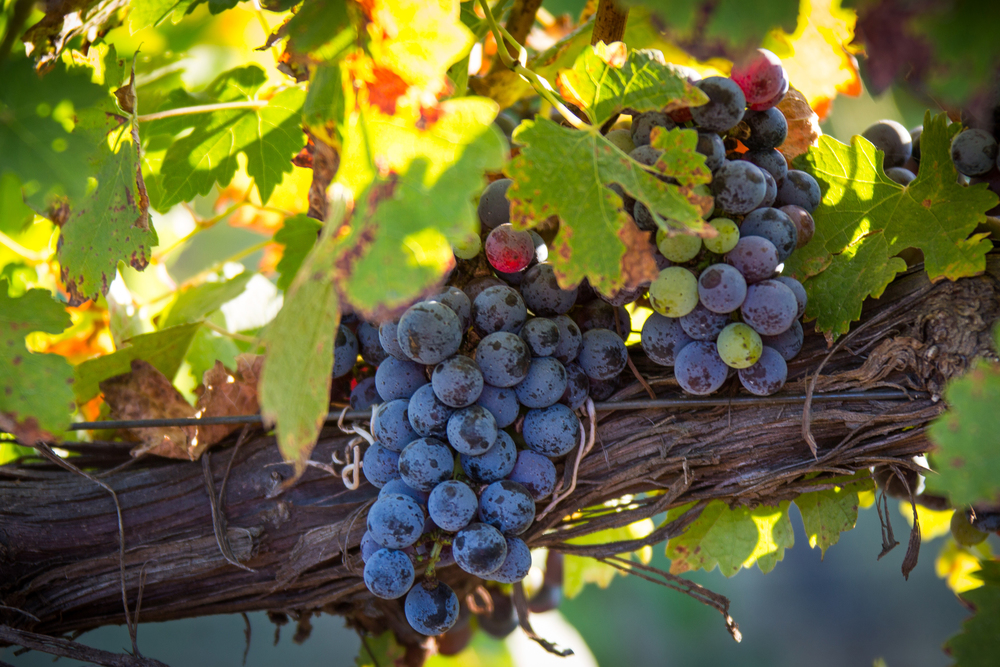 KIEPERSOL CABERNET Grapes at Harvest Time   ©   2015 KIEPERSOL ENTERPRISES