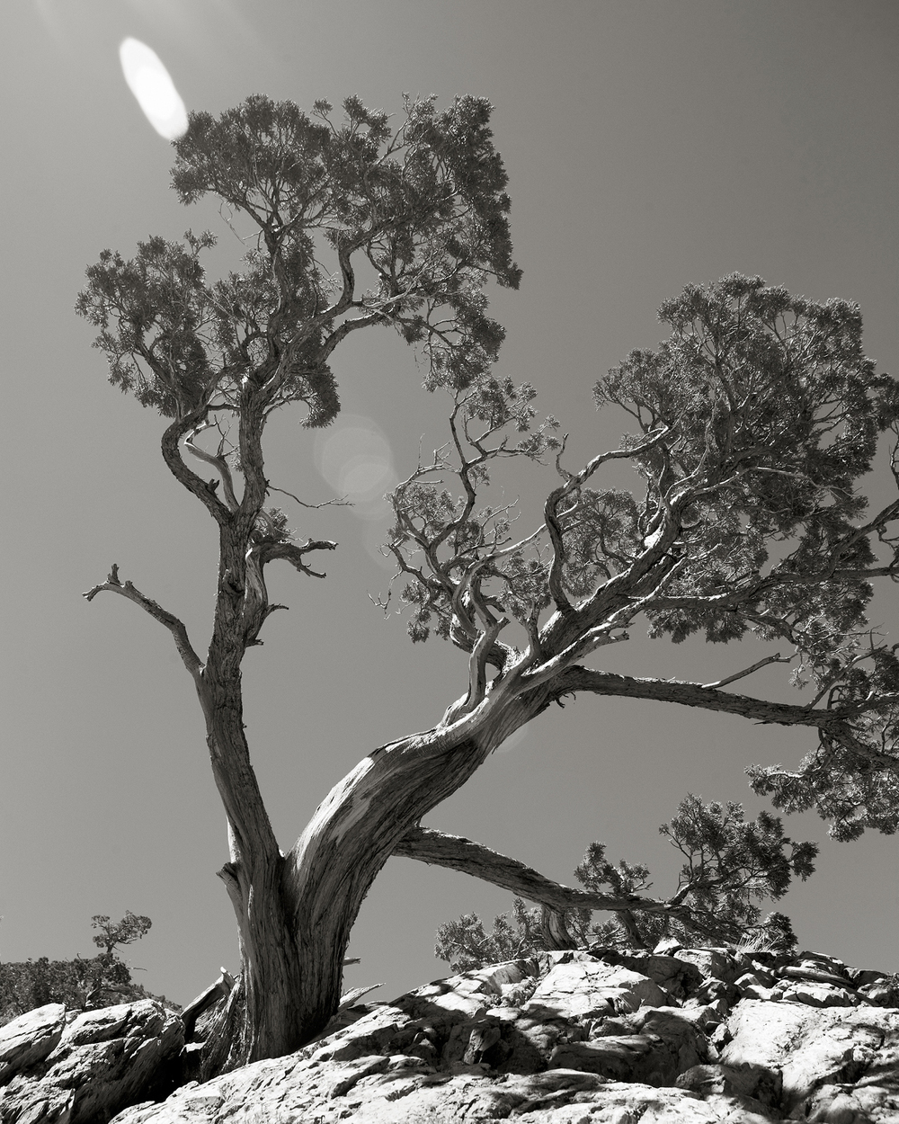 BONSAI STYLE PINE TREE ALONG THE LUNDY CANYON TRAIL