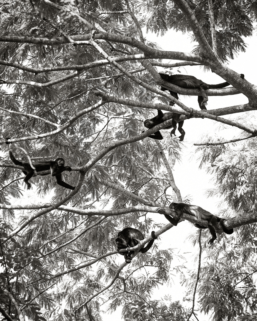 TROOP OF HOWLER MONKEYS ABOVE ROOM 18 AT HARBOR REEF SURF RESORT
