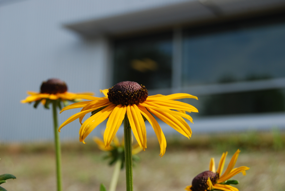 Black-Eyed Susans brighten the biofilters at the end of each summer.