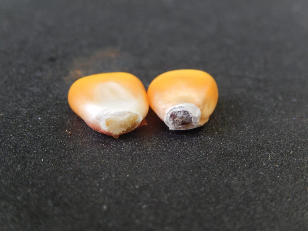 The right kernel has a fully-developed black layer. Credit: University of Arkansas.