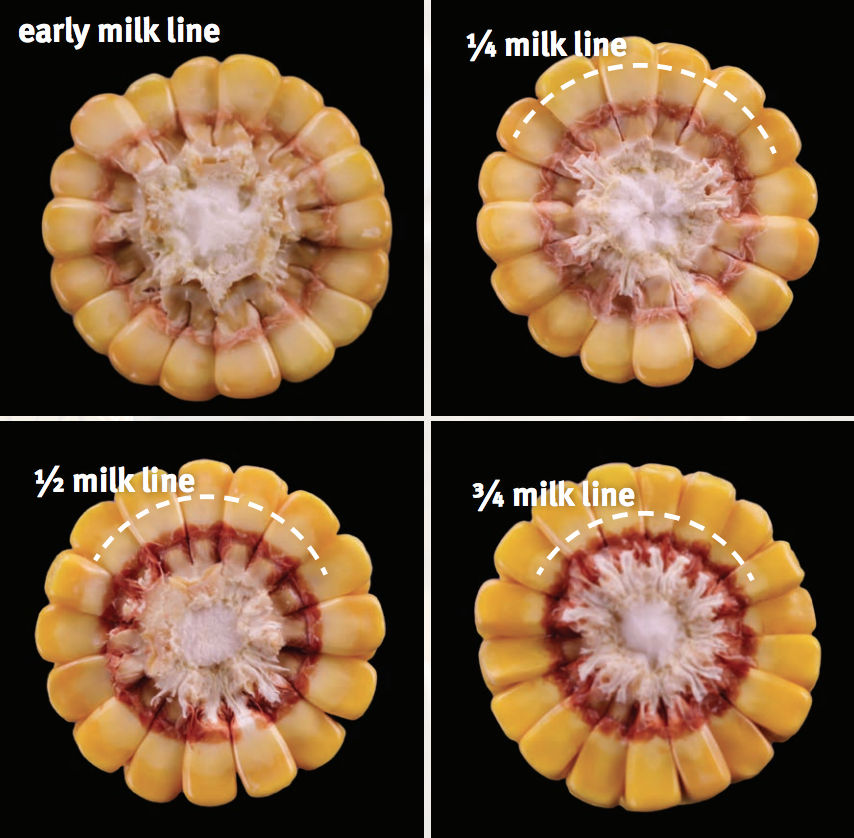 Various milk line stages. Credit: Pioneer Corn Growth & Development.