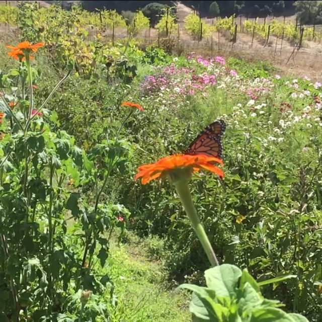 A monarch u-picking some zinnia nectar