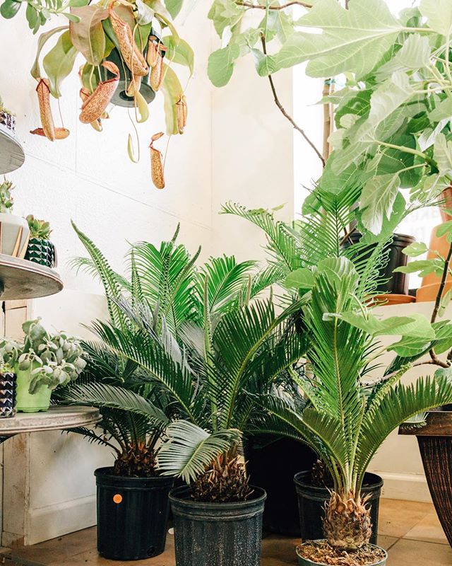 Local jungle open until 3 today! • • #lakewoodplantcompany #sagopalm #pitcherplant