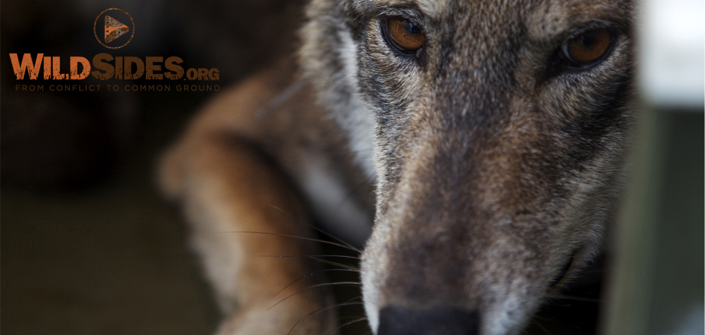 With fewer than 40 left in the wild, red wolves are fighting for survival