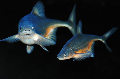 Bonytail Fish (US Fish and Wildlife Service)