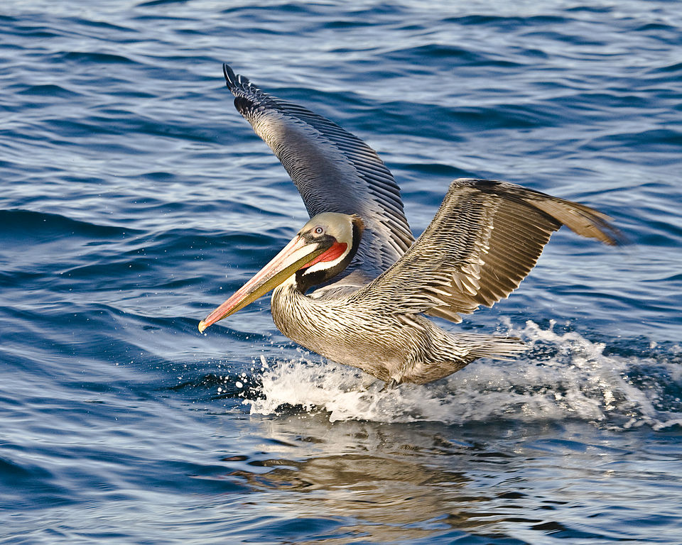 Brown Pelican Michael L. Bair