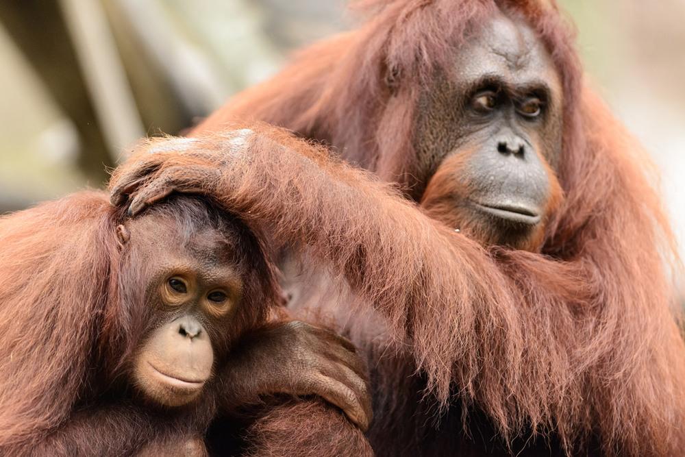 Eric Kilby- Young Orangutan Sitting by Mom