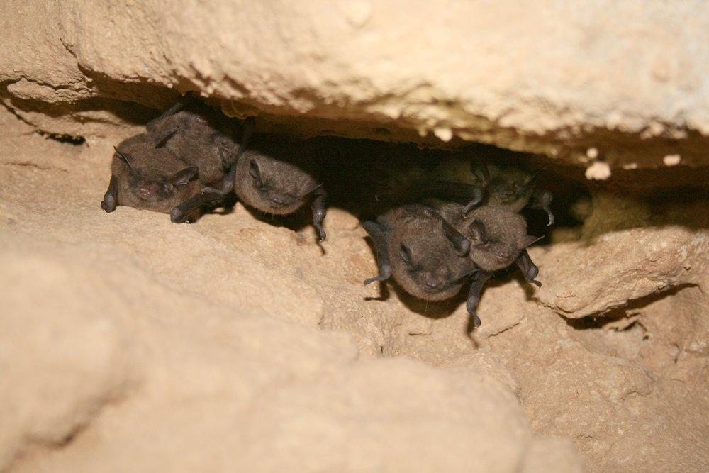 Hibernating Indiana Bats
