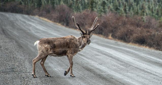 Caribou Crosses Road
