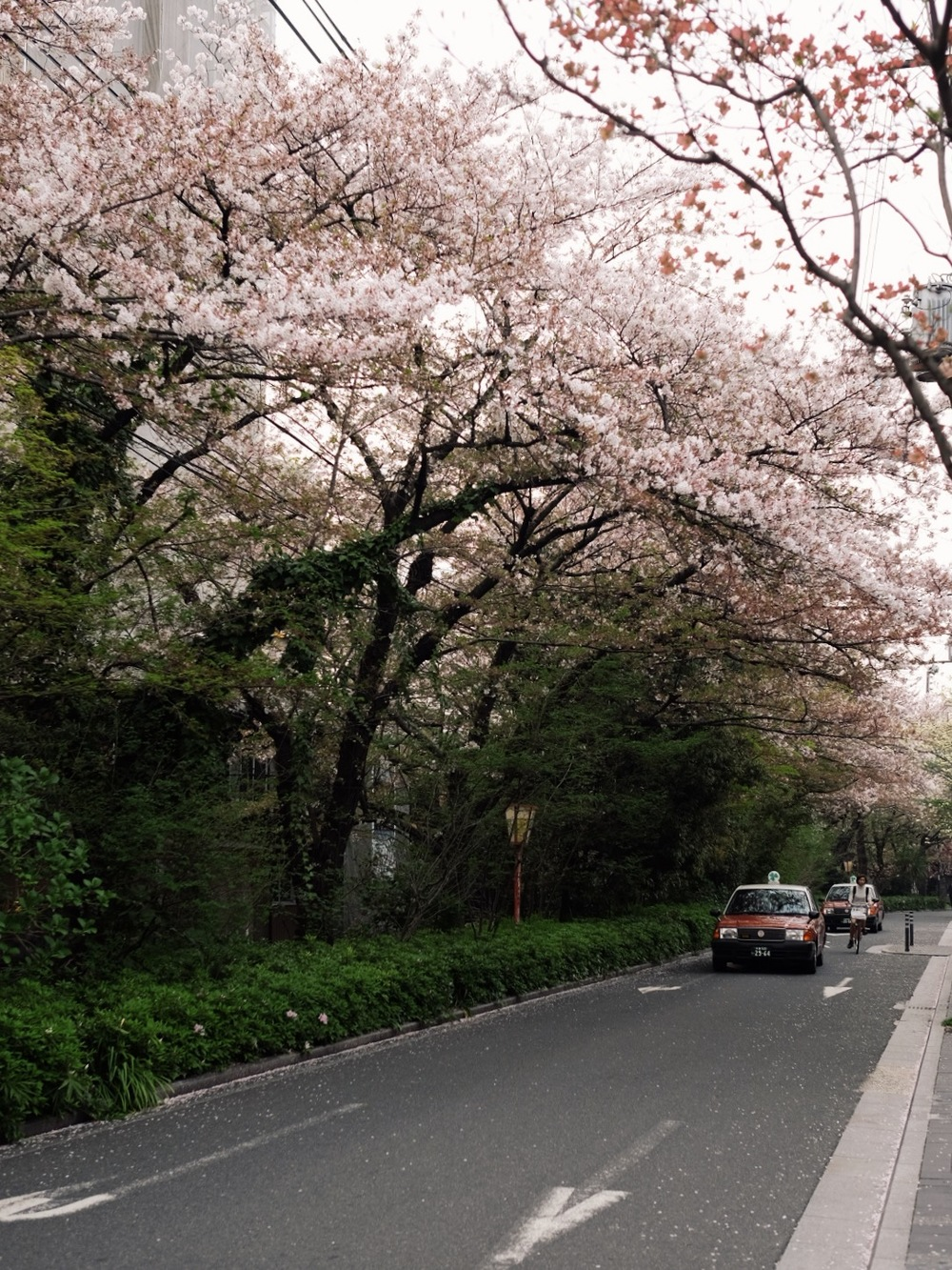 Cherry blossom trees in Kyoto