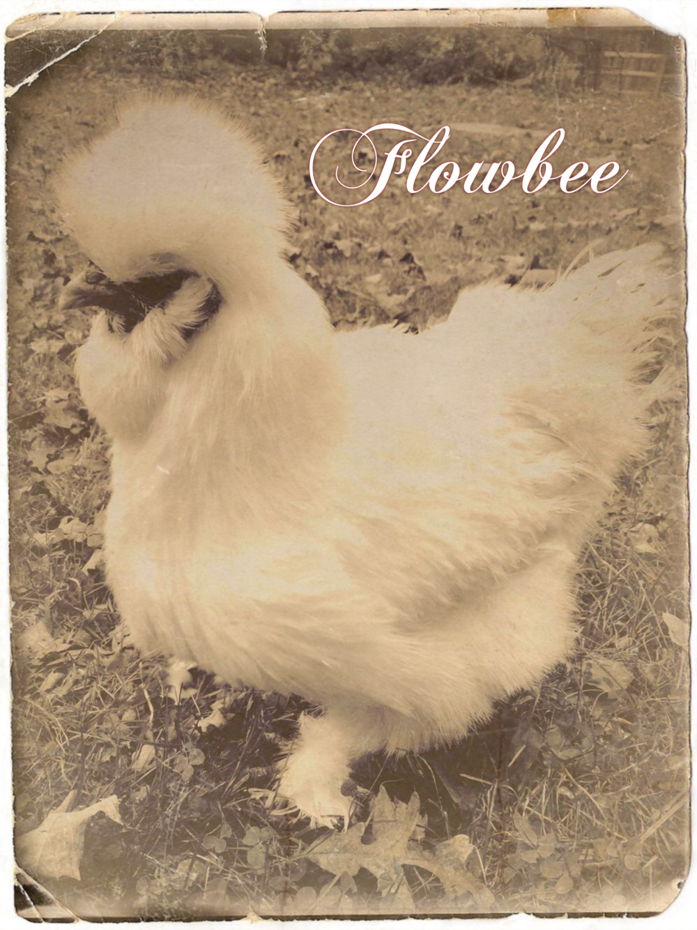 FLOWBEE - the lone survivor spared when a backyard flock was culled.