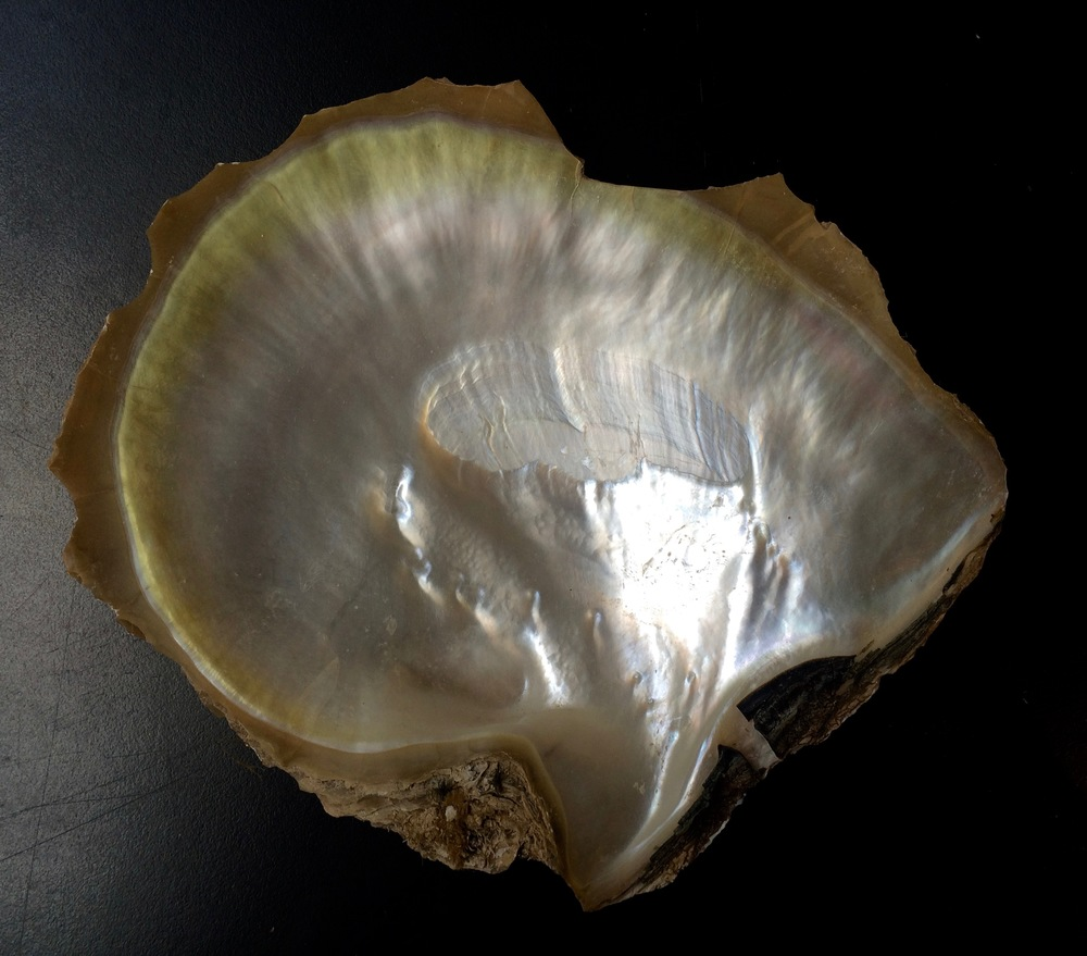 3. Peral shell.jpg