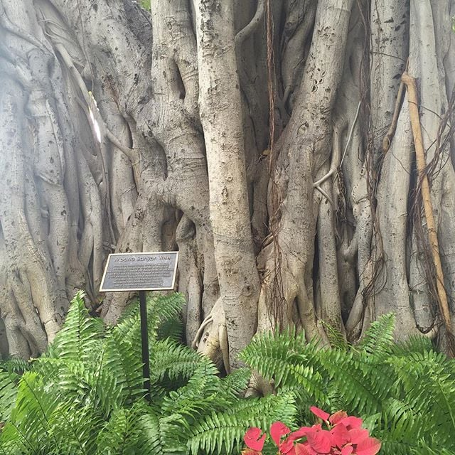 This Indian Banyan tree was planted in 1904 and was 7ft tall.  It's now 75ft tall and 150 ft wide on the beautiful island of Oahu. So gorgeous! #jenkatketherapy #grounded #plantteachers #deeplyrooted #naturetherapy