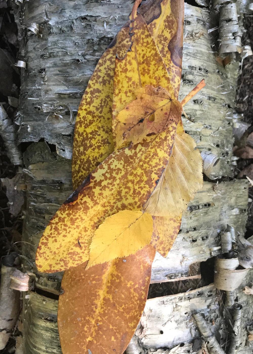 rhodie leaves sept (1).jpg