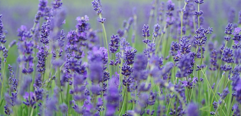 lavender-essential-oils.jpeg