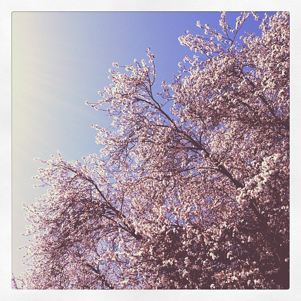 Blossoms (Taken with  Instagram  at Stanley Park Seawall Loop)