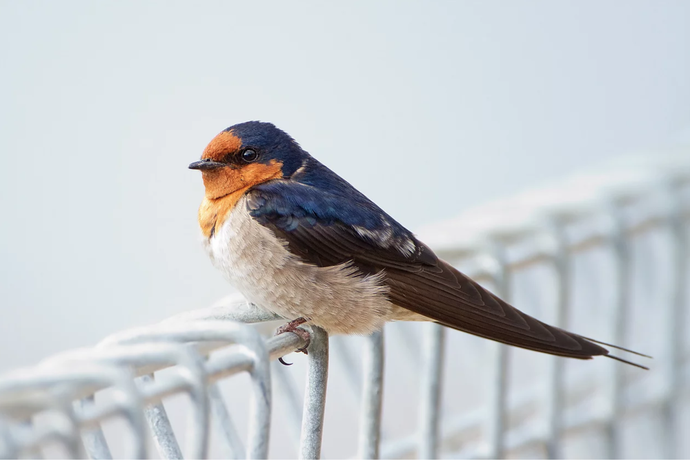 "The lovely bird Hirundo neoxena, also known as the ""welcome swallow"", a harbinger of Spring."