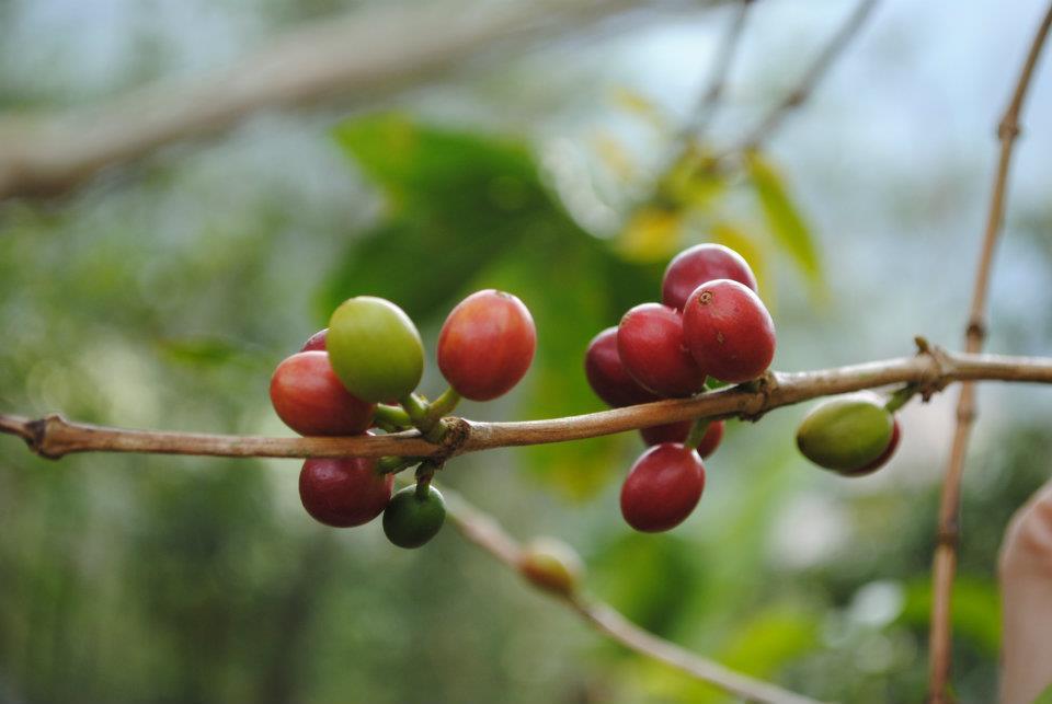 Philippine arabica coffee. Photo courtesy of Coffee AID volunteer JC Caldo.
