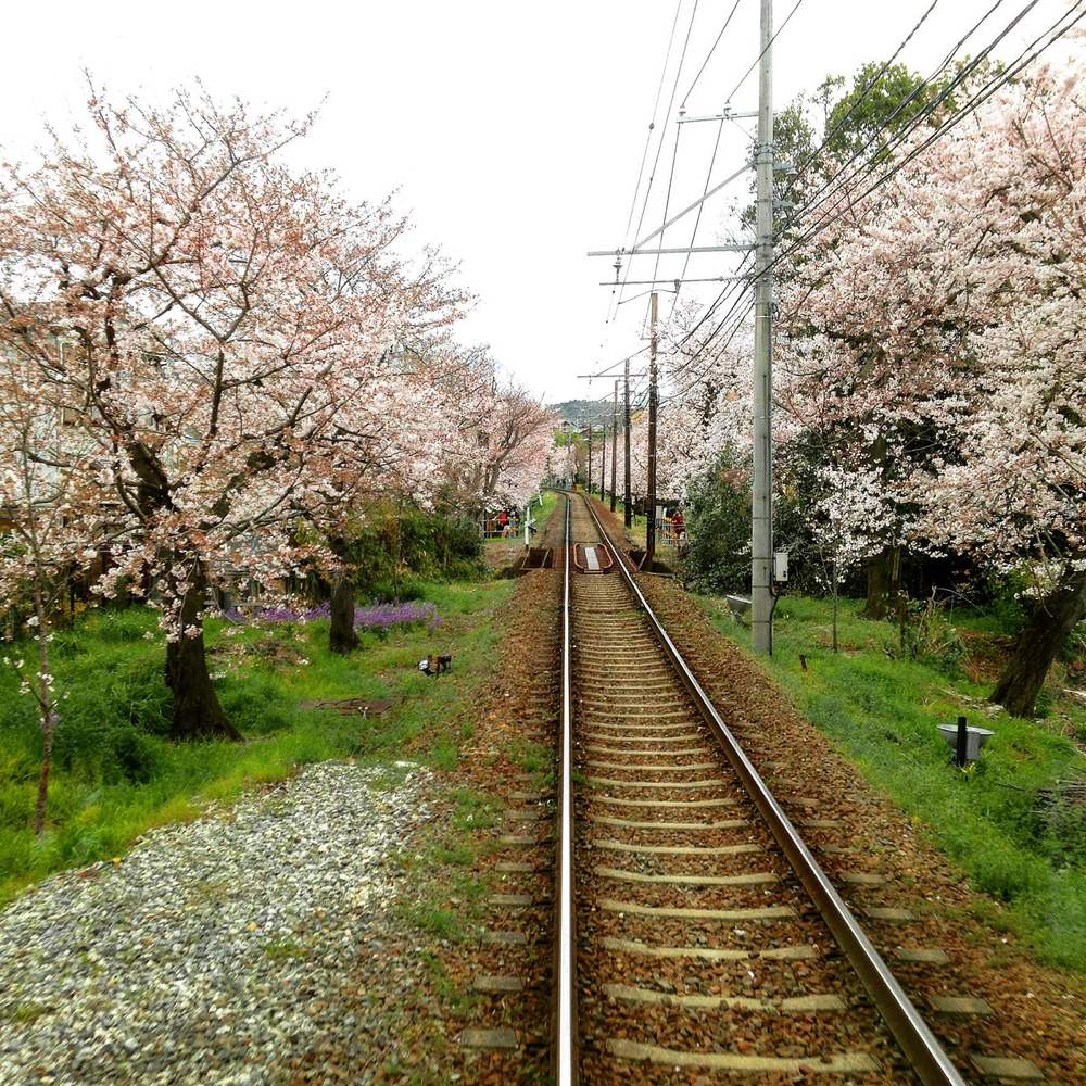 kyoto_sakura_train