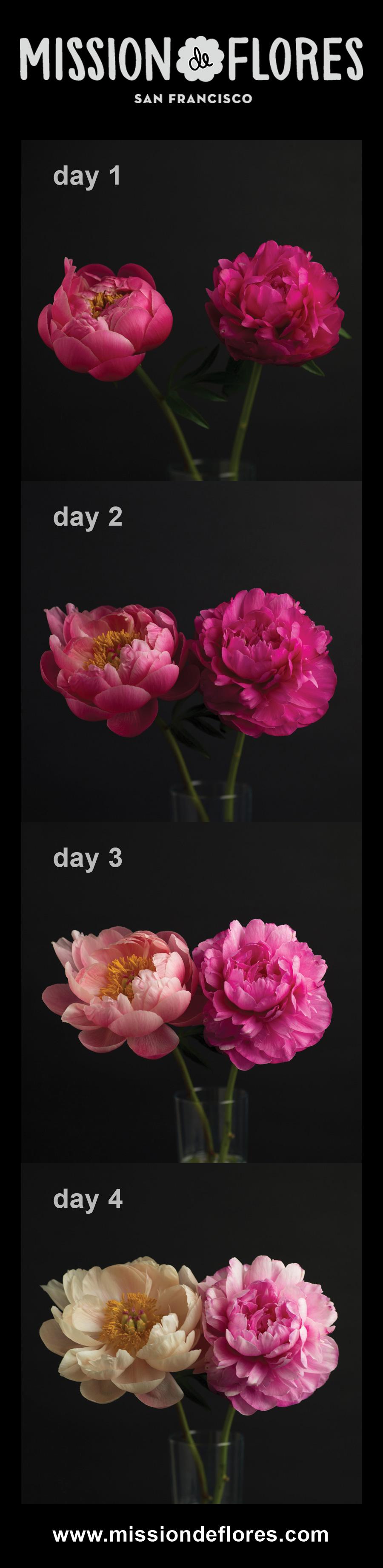 Mission de Flores | Pink Peonies